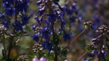 Bee On Purple Wildflowers