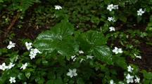 Leaves, Possibly Trillium, And White Flowers