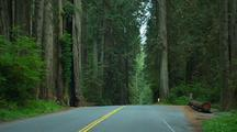 Driving Down Road Through Redwood National Park