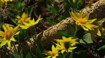 Sunflowers Among Logs
