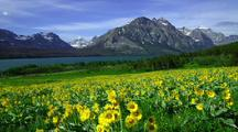 Sunflowers By St. Mary Lake