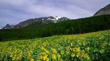 Field Of Sunflowers With Forest And Mountains Behind