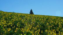 Field Of Sunflowers On Hill With Single Tree At Top