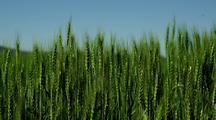 Close-Up Of Green Wheat