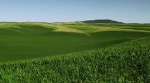 Rolling Hills Of Corn Fields