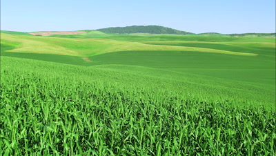 Rolling Hills Of Corn Fields
