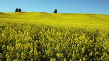 Field Of Mustard On Hill With Trees At Top