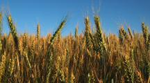 Field Of Golden Wheat, Close-Up