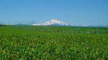 Corn Field With Snow-Capped Mountain Behind