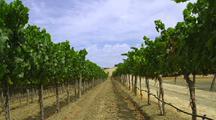 Look Down Grapevine In Vineyard