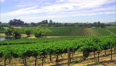 Overlook Of  Vineyard