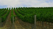 Rows Of Grapevines In Vineyard