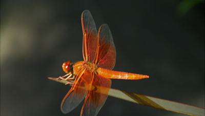 Dragonfly Balances On Plant