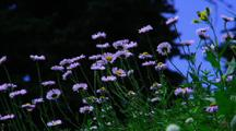 Bunch Of Lavender, Daisy-Like Wildflowers