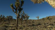Walking Through Desert And Joshua Trees