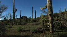 Walking Through Organ Pipe Desert