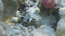 Head Of Banded Sea Snake On Reef