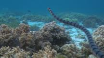 Black And White Sea Snake Hunting In The Coral Then Swimming To The Surface To Breath.