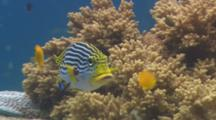 Diagonal-Banded Sweetlips (Plectorhinchus Lineatus) Swimming And Being Cleaned By A Cleaner Wrasse