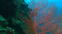 Spider Crab Crawling Across Red Seafan. Camera Zooms Out To Entire Sea Fan