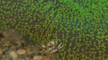 Porcelain Commensal Crab On Green Carpet Anemone
