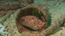 Orbicular Burrfish (Cyclichthys Orbicularis) Inside A Circular Tube. Midway Through, The Fish Turns And Poses On The Other Side.