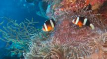 Orange-Finned Clownfish (Amphiprion Chrysopterus) Swimming In An Anemone