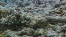 Scorpionfish Camouflaged On Coral Rubble Bottom