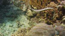 Banded Sea Snake (Laticauda Colubrina) Swimming Through Water