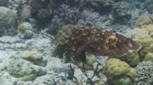 Broadclub Cuttlefish CuttlefishSlow Moving