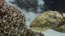 Broadclub Cuttlefish Depositing Her Eggs In The Coral.