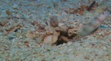 Steinitz' Shrimpgoby (Amblyeotris Steinitzi) With Symbiotic Alpheid Shrimp, (Alpheus Sp) Cleaning Burrow.  Symbiosis.