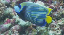 Royal Angelfish (Pygoplites Diacanthus) Pushed Out Of Feeding Area By Emperor Angelfish (Pomacanthus Imperator)