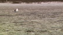 Western Gull (Larus Occidentalis) Sitting In A Dried Up Tidal Flat