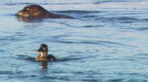 Harbor Seal (Phoca Vitulina) Swims Past A Female Surf Scoter (Melanitta Perspicillata) Hunting On The Water.
