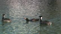Surf Scoter An Two Western Grebes Swimming On Water.
