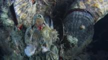Barnacles Eating /Filter Feeding Large Piece Of Sea Lettuce In Right Hand Side.