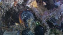 Scale Worm Walks Across The Reef. Barnacle Feeds