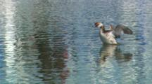 Eared Grebe Swimming, Flapping Its Wings To Dry Off.
