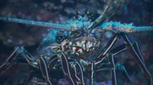 Close Up Spiny Lobster (Panulirus Argas) Is Seen Blending In With The Surrounding Coral Reef Rocks Off Malpelo Island, Colombia.