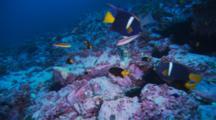 Various Fish Feed On Reef, Yellowtail Damselfish, King Angelfish