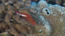 Arc-Eye Hawkfish Rests On Coral Head
