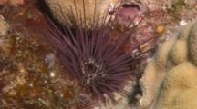 Sea Urchin On Coral
