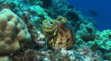 Triton Emerges From Shell And Begins To Crawl.  Main Predator Of The Crown Of Thorns In The Background. Kona, Hawaii.