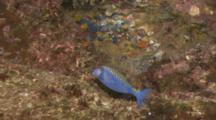 Male Spotted Boxfish (Ostracion Meleagris) Swimming Near Rocks Off Cocos Island, Costa Rica.