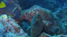 Finespotted Moray Eel (Gymnothorax Dovii) Resting In Rocks With King Angelfish (Holacanthus Passer) Swimming Around It.