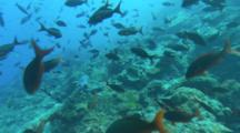 Travel Over Rocky Reef With Moorish Idols And Pacific Creolefish Following A Whitetip Reef Shark