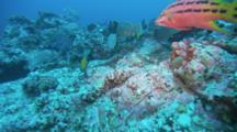 Leather Bass, Bluespotted Jacks, Travel Over Reef