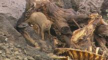 Mongoose Feeding On Pig Carcass