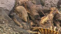 Lock-Off Of A Mongoose Crawling Through A Tree Root Near Pig Carcass